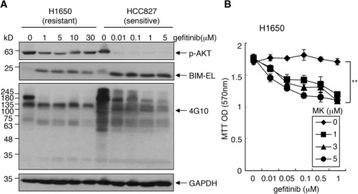 Gefinitib-resistant AKT phosphorylation in NSCLC cells.(A) The effect of gefitinib on p-AKT, p-tyrosine and BIM levels in NSCLC cells. H1650 and HCC827 cells were cultured in the regular media with the indicated concentrations of gefitinib for 24 hours. WCLs were immunoblotted with anti-p-AKT, anti-BIM and p-tyrosine (4G10) antibodies. (B) MK2206 sensitized H1650 cells to gefitinib. Relative cell number was measured by MTT assay at 4 days after incubations with the indicated drugs. Values are means ± SEM (n = 9). **, p<0.01.