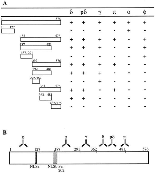 Epitope mapping of mAbs. (A) Diagram showing the reactivity of each mAb with the  full-length coilin and different deletion mutants  of the protein, as determined by immunoblot  analysis. The data show that the epitopes recognized by mAbs o, φ, and γ map between amino  acids 1–127, 187–291, and 292–362, respectively.  The mAbs δ and pδ react with epitopes located  between acids 363 and 481. The mAb-π recognizes either an epitope localized around amino  acids 481–482, or a conformational epitope  present in the coilin mutant encompassing amino  acids 363–576, but absent from the mutants encompassing amino acids 363–481 and 482–576.  (B) Diagram showing the mapped epitopes (𝕐) in  relation to the complete coilin sequence. Hatched  regions depict the two motifs that closely match  the consensus sequence of simple and bipartite  nuclear localization sequences, NLSa and NLSb,  respectively (Bohmann et al., 1995a). The diagram also depicts the position of serine 202. Conversion of this amino acid residue into aspartate  causes the disappearance of coiled bodies and a  redistribution of coilin to intranucleolar domains  (Lyon et al., 1997).