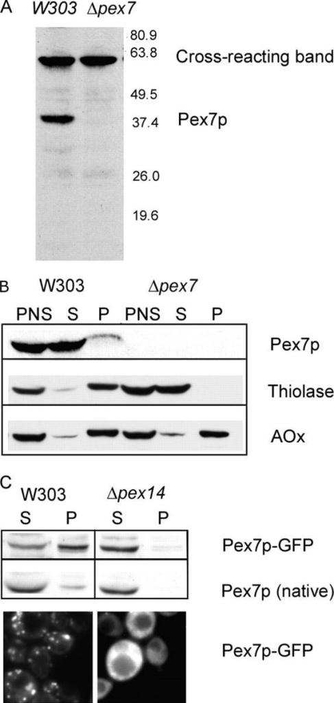 Different subcellular distributions of native Pex7p and Pex7p-GFP. (A) Rabbit antibodies against Pex7p recognize the endogenous protein in a total cell lysate of wild-type W303 cells by immunoblotting. (B) Subcellular distribution of endogenous Pex7p and peroxisomal enzymes in wild-type and Δpex7 cells. A postnuclear supernatant (PNS) fraction was centrifuged at 15,000 rpm for 20 min to separate an organelle pellet (P) from the cytosol-containing supernatant (S). Immunoblots of the peroxisomal enzymes thiolase and acyl-CoA oxidase (AOx) that use the Pex7p and Pex5p receptors, respectively, are included as controls. (C) Intracellular distribution of Pex7p-GFP fusion protein as well as native Pex7p in wild-type and Δpex14 cells. (Top) Cell fractionation and anti-Pex7p immunoblots. (Bottom) Fluorescence of the Pex7p-GFP.