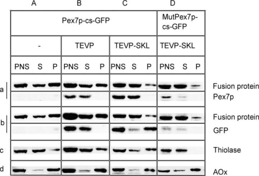 Pex7p export from peroxisomes. Δpex7 strains coexpressing Pex7p-cs-GFP without protease (A), with TEVP (B), or with TEVP-SKL (C) were analyzed by cell fractionation followed by SDS-PAGE and immunoblotting with anti-Pex7p (a), anti-GFP (b), anti-thiolase (c), and anti-AOx (d) antibodies. (D) MutPex7p-cs-GFP with TEVP-SKL.