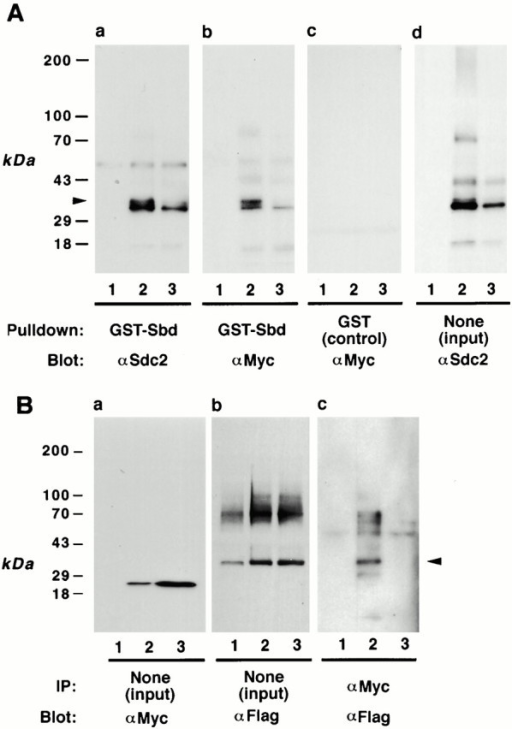 Characterization of the synbindin–syndecan-2 interaction by pull-down, coimmunoprecipitation, ligand overlay, and two-hybrid assays. (A) GST pull-down assay. Lysates from human 293 cells transfected with Myc-tagged syndecan-2 were pulled down with GST-synbindin fusion protein (a and b) or nonfused GST (c) and immunoblotted with anti–syndecan-2 mAb 6G12 (a) or anti-Myc polyclonal antibody A14 (b and c). In d, cell lysates were directly immunoblotted with anti–syndecan-2 mAb without pull-down. In each panel, three different lysates were tested: (lane 1) lysates from 293 cells transfected with a control vector; (lane 2) lysates from 293 cells transfected with Myc-tagged syndecan-2, which were undigested; and (lane 3) lysates from 293 cells transfected with Myc-tagged syndecan-2, which were digested with heparitinase. The arrowhead indicates the 34-kD syndecan-2 core protein. (B) Coimmunoprecipitation of synbindin and syndecan-2. The 293 cells were transfected with FLAG-syndecan-2 alone (lane 1), FLAG-syndecan-2 and Myc-synbindin (lane 2), or the FLAG-syndecan-2ΔEFYA deletion mutant and Myc-synbindin (lane 3). The cell lysates were immunoprecipitated with anti-Myc polyclonal antibody and immunoblotted with anti-FLAG antibody (c). The arrowhead indicates the syndecan-2 core protein. Note that the intact syndecan-2 was coimmunoprecipitated with synbindin (c, lane 2), whereas the syndecan-2ΔEFYA deletion mutant was not (c, lane 3). In a and b, the lysates were directly immunoblotted with anti-Myc antibody (a) and anti-FLAG antibody (b), respectively, to show that similar amounts of proteins were expressed. (C) GST-synbindin overlay assay. His-tagged recombinant proteins of intact syndecan-2 cytoplasmic domain (SDC2) and ΔEFYA cytoplasmic domain (SDC2ΔEFYA, right lane) were resolved on a 10–20% tricine gel, blotted, and overlaid with GST-synbindin (bottom panel) as described in Materials and Methods. (top panel) Ponceau S staining of the blot. (D) Two-hybrid assays to analyze the syndecan-2–binding site in synbindin. Four synbindin fragments (shown in the bottom panel) were tested with two syndecan-2 baits: one representing the intact syndecan-2 cytoplasmic domain (SDC2) and the other representing the ΔEFYA cytoplasmic domain (SDC2ΔEFYA). The interactions were scored by His prototrophy (left) and β-galactosidase activity (right).