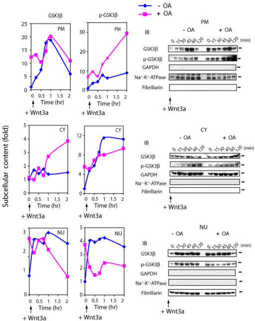 Suppression of PP2A provokes shuttling and phosphorylation of GSK3β. F9 cells expressed Rfz1 were treated without (-) or with (+) OA for 1 hr and then stimulated without (time + 0) or with Wnt3a for the indicated time periods. At indicated time points, cell cultures were harvested, disrupted, and subjected to subcellular fractionation to plasma membrane (PM), cytoplasm (CY) and nuclei (NU) fractions, as described in the Methods. Samples of each fraction were subjected to protein determination, SDS-PAGE, and the resolved proteins blotted and stained with antibodies specific for GSK3β and with antibodies specific for Ser9 phospho-GSK3β. Left-handed panel shows the quantitative analysis of the blots for Wnt3a alone (blue line) or Wnt3a in the presence of OA (pink line). The data are displayed as fold of control (time zero set to 1). Right-handed panel displays immunoblots stained with GSK3β and phospho-GSK3β (Ser 9) antibodies as well as antibodies specific for subcellular fractions, (i.e., marker proteins). The results shown are derived from a single experiment, representative of two additional experiments.