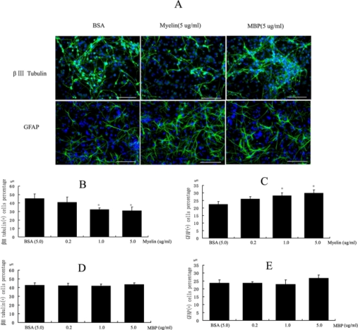 The differentiation of NPCs treated by Myelin and MBP, respectively.(A) The immunostaining images of NPCs treated by myelin and MBP. (B) The result of a β III tubulin antibody immunostaining in NPCs exposure to myelin preparation for 8 days. The proportion of positive cells was 32.35±1.91% and 30.95±4.32% in 1.0 ug/ml and 5.0 ug/ml soluble myelin treatment respectively, significantly lower than 45.38±5.31% in 5.0 ug/ml BSA control (p<0.05).(C) The result of GFAP antibody immunostaining in NPCs exposure to myelin preparation for 8 days. The proportion of GFAP positive cells was 28.19±1.1.78% and 29.83±2.16% in 1.0 ug/ml and 5.0 ug/ml soluble myelin treatment respectively, significantly higher than 22.53±1.85% in 5.0 ug/ml BSA control (p<0.01).(D, E) Purified MBP did not affect the neural differentiation of NPCs.