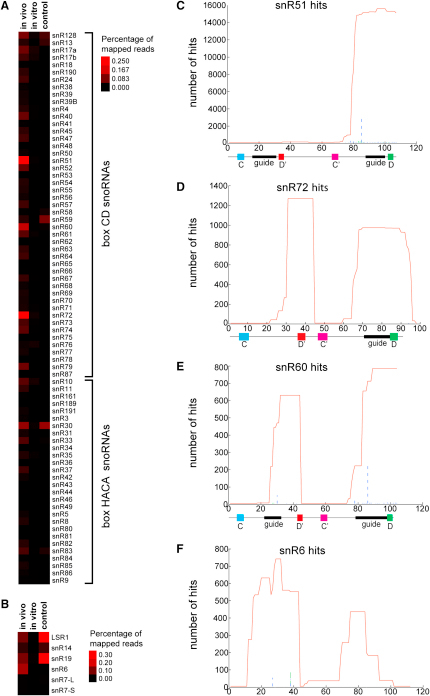 Prp43 Crosslinking to snoRNAs and snRNAsProtein-RNA complexes from Prp43-HTP-expressing cells and control cells were crosslinked and analyzed as described for Figure 1. The percentage of sequences found for individual snoRNAs (A) or snRNAs (B) and the crosslinking sites of Prp43 on the most highly enriched snoRNAs snR51 (C), snR72 (D), snR60 (E), and the splicing snRNA U6 (F) are presented as total number of hits. The total number of hits (red line) and the positions of deletions (dashed green line) and nucleotide substitutions (dashed blue line) in the obtained sequences are shown. The regions of the guide sequences and functional elements of the snoRNAs are indicated below.
