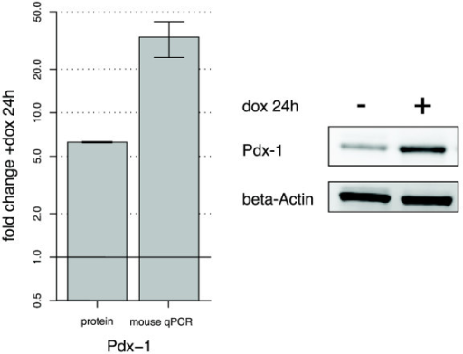 Pdx-1 induction in the INSrαβ cell line. Fold changes (mean and standard deviations) in Pdx-1 protein and mRNA after treatment with doxycycline (dox) for 24 h. The gels to the right represent Pdx-1 and β-actin induction with and without dox stimulation for 24 h.