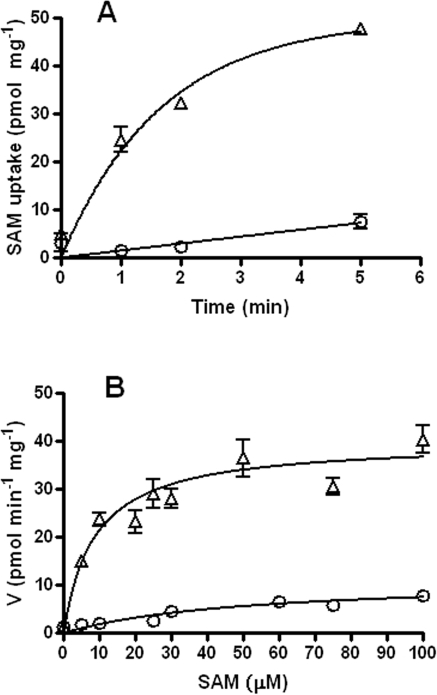 Kinetics of SAM transport in E. coli. (A) Time course of [14C]SAM uptake in E. coli at 37°C as a function of time. The time course assay was carried out in transport buffer supplemented with 10 µM [14C]SAM. Time point assays were done in triplicate. (B) Effect of substrate concentration on [14C]SAM uptake at 37°C. The data represent six independent experiments done in triplicate. The background transport seen with MG1655 (○) was subtracted from the transport seen with ATM915 (MG1655 expressing ctl843 [Δ]) with GraphPad Prism software, and then nonlinear regression analysis was performed to obtain the Km and Vmax values.