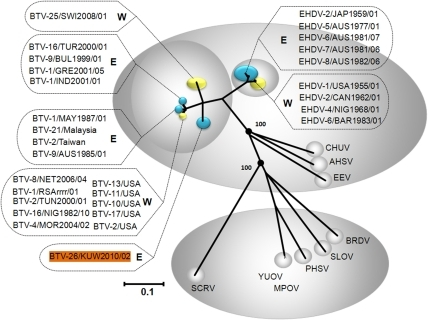 Neighbour-joining tree showing relationships between VP3[T2] of KUW2010/02 with other orbiviruses.KUW2010/02 showed up to 76.6%/88.9% nt/aa identity in Seg-3/VP3[T2] with other BTV strains confirming that it is an isolate of BTV. Accession numbers and further detail of the sequence and viruses used are included in Table 1. The tree was constructed using distance matrices, generated using the p-distance determination algorithm in MEGA 5 (500 bootstrap replicates) [48]. The trees shown in Figures 2 and 3 were drawn using same parameters. The scale bar indicates the number of substitutions per site. Values at the nodes indicate bootstrap confidence. Epizootic haemorrhagic disease virus (EHDV), Bluetongue virus (BTV), Equine encephalosis virus (EEV), African horse sickness virus (AHSV), Chuzan virus (CHUV), St. Croix River virus (SCRV), Yunnan orbivirus (YUOV), Middle point orbivirus (MPOV), Peruvian horsesickness virus (PHSV), Broadhaven virus (BRDV), Stretch Lagoon Orbivirus (SLOV). Eastern and western isolates of EHDV and BTV are shown in blue and yellow respectively. Seg-3 accession numbers used for comparative analyses: AM745079, AM745029, AM745039, AM745049, AM745059, AM744979, AM744999, AM745019, AM745069, NC_005989, AF021236, FJ183386, M87875, NC_012755, NC_007749, NC_007657, EF591620, NC_005998, DQ186827, DQ186797, DQ186822, DQ186811, DQ186816, AF529047, AY493688, DQ186790, AM498052, DQ186792, DQ186826, DQ186819, DQ186817, L19969, L19968, NC 006014, AF017281, L19967.
