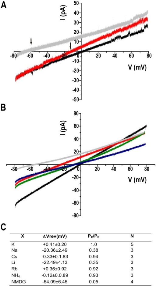 Ion selectivity of TcCat.A. Representative current traces recorded under a voltage-ramp protocol between −80 and +80 mV. Back line corresponds to symmetrical conditions in the absence of Mg2+ (bath and pipette solution 140 mMKCl, 10 mMHepes-K, pH 7.4). Grey line represents the current under non-symmetrical conditions, replacing the bath solution for 140 mM NMDG-Cl, 10 mMHepes-K, pH 7.4. Red line shows the current trace when the bath solution contains 140 mM K-gluconate, 10 mMHepes-K, pH 7.4. Arrows indicate the shift in the reversal potential of the current for asymmetrical conditions. B. Current traces recorded applying a voltage-ramp protocol between −80 to +80 mV under symmetrical conditions described in (A) (black line) or replacing the bath solution for 140 mMXCl, 10 mMHepes-K, pH 7.4, X being Na+ (red line), Cs+ (green line), NH4+ (blue line) or NMDG (grey line). C. Relative permeability ratios for monovalent cations (X) respect to K+ (PX/PK). ΔVrev corresponds to the difference between the reversal potential of the current for the control and the experimental shift in reversal potential when replacing the monovalent cation in the bath solution. Values are expressed as mean ± SEM. N indicates independent experiment. Each experimental value is the average of 5 measurements for each experiment.