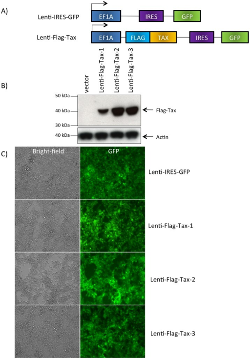 Expression of the Lenti-Flag-Tax lentiviruses.(A) Schematic representation of the Lenti-IRES-GFP and Lenti-Flag-Tax constructs. (B) Western blot analyses were performed on 70 µg of cellular extracts from MOLT4 cells transduced for 72 h by Lenti-IRES-GFP, Lenti-Flag-Tax-1, Lenti-Flag-Tax-2 or Lenti-Flag-Tax-3 lentiviruses, as indicated. Membranes were probed with anti-Flag-M2 or anti-β-actin antibody (Sigma). (C) 293 T cells were transduced by Lenti-IRES-GFP or Lenti-Flag-Tax lentiviruses for 72 h. Pictures of live cells were taken using Nikon eclipse TS 100 microscope (magnification x10).