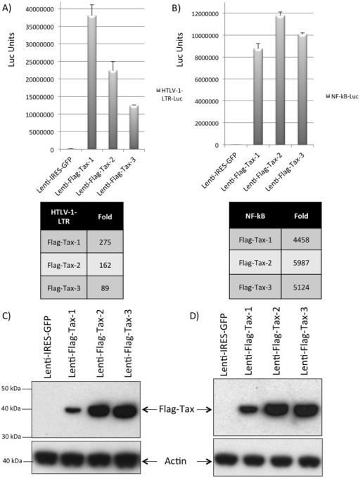 Transcriptional activity of the Flag-Tax proteins on the HTLV-1 promoter or on a synthetic NF-κBpromoter. (A, B): 293 T cells were transduced by Lenti-Flag-Tax lentiviruses for 48 h. Cells were then transfected with (A) 500 ng of HTLV-1-LTR-Luc or (B) 500 ng of NF-κB-Luc reporter plasmid. Transfection results were normalized to Renilla activity by transfecting 10 ng of phRG-TK (Promega), and DNA quantities were adjusted with vector control. The results presented in (A) and (B) are the average of at least 3 independent experiments. Tables represent the fold-activation of the different Flag-Tax proteins over the control. (C, D) Western blot analyses were performed on 70 µg of cellular extracts from 293 T cells transduced in A and B. Membranes were probed with anti-Flag-M2 or anti-β-actin antibody (Sigma).