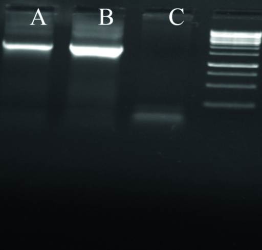 Fiber Amplification as a Confirmatory Step of Recombinant Virus PresenceAfter two step of reinfection, supernatant or lysed cells undergo a 25 cycle PCR reaction to amplify 1700 bp from fiber gene as virus production sign. As shown, no significant difference was seen between the sample processed by standard lyses method or supernatant medium. From left to right, A) sample from supernatant without lyses B) sample prepared by standard lyses method C) 293 negative control.