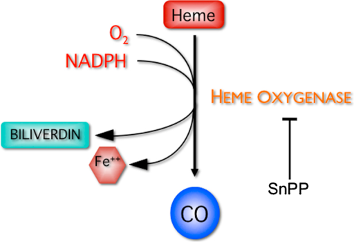 A schematic diagram of the heme oxygenase pathway.Heme | Open-i on simple schematic diagram, ups battery diagram, circuit diagram, as is to be diagram, ic schematic diagram, layout diagram, a schematic circuit, template diagram, a schematic drawing,