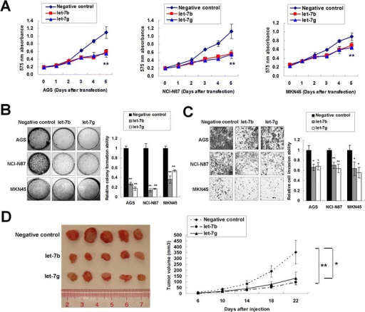 Ectopic expression of let-7b/g exerts tumor suppresser function in gastric cancer cells. (A) 5-day MTT proliferation results of let-7b/g in AGS, NCI-N87 and MKN45 cells (**, P < 0.001). (B) let-7b/g decreased monolayer colony formation in AGS, NCI-N87 and MKN45 cells (**, P < 0.001). The experiment was performed in triplicate wells to get standard deviations (SDs). (C) let-7b/g inhibited gastric cancer cell invasion (*, P < 0.05; **, P < 0.001). Three random vision fields were selected for invaded cell counting to get SDs. (D) let-7b/g-MKN45 formed smaller xenografts than the negative control group (*, P < 0.05; **, P < 0.001).