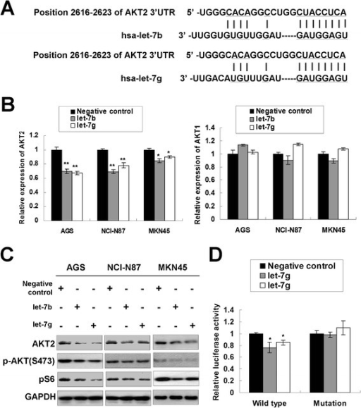 let-7b/g targets AKT2 in gastric cancer. (A) The binding sites of let-7b/g on the AKT2 3′UTR as predicted by TargetScan (www.targetscan.org). (B) AKT2 mRNA expression was down-regulated upon ectopic let-7b/g expression (*, P < 0.05; **, P < 0.001). (C) Western blot analysis of AKT2, p-AKT (S473) and pS6 upon let-7b/g ectopic expression in AGS, NCI-N87 and MKN45 cells. (D) Relative luciferase activity in the constructs containing wild-type binding site or mutated binding site of AKT2 3′UTR after let-7b/g transfection (Wild type, the construct containing the complementary sequence of seed region; Mutation, the binding site was mutated; *, P < 0.05).