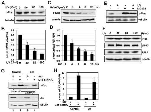 L11 is involved in UV-induced c-Myc downregulation(A–D) UV irradiation decreases c-Myc levels. U2OS cells were exposed to different dosages of UV (A) (B) or 40 J/m2 UV for different times (C) (D). The cells were assayed for the expression of c-Myc protein by IB (A) (C) and c-myc mRNA by RT-qPCR (B) (D). (E) MG132 treatment partially rescued the c-Myc reduction by UV treatment. U2OS cells treated with 40 J/m2 UV were cultured in the presence or absence of 40 μM MG132 for 6 hours followed by IB. (F) UV treatment does not reduce the levels of HuR, eIF4G and ribosomal protein L5 (RPL5). U2OS cells were treated with different dosages of UV for 6 hours and assayed by IB. (G–H) Knockdown of L11 abolished the c-Myc reduction by UV treatment. U2OS cells transfected with scrambled or L11 siRNA were treated with 40 J/m2 UV for 6 hours. The cells were subjected to IB detection of c-Myc protein (G) and RT-qPCR detection of c-myc mRNA (H). *p < 0.01, compared to scrambled RNA transfected cells.