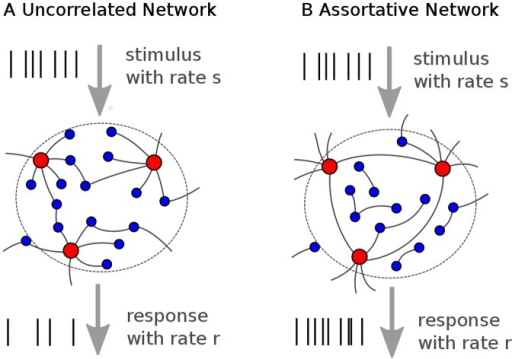 Schematic of the heterogeneous neuronal networks.(A) In the uncorrelated network, highly connected neurons and poorly connected neurons are joined randomly. Here, red nodes represent an exemplary well connected subpopulation, while blue nodes represent all remaining populations with smaller in-degree k. (B) In the assortative network, neurons with similar connectivity are joined preferably. The network is stimulated by Poissonian external input spike trains with mean rate s, which are injected to each neuron. The network response r to the stimulus is quantified by the average firing rate of a randomly chosen fraction of the network (n neurons).