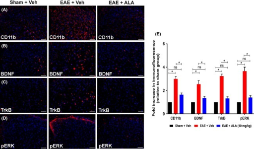 Immunohistochemical (IHC) analysis of CD11b, BDNF, TrkB, and pERK in the dorsal horn of lumbar (L4-L6) spinal cord sections from RR-EAE mice administered ALA at 10 mg kg−1 day−1 or vehicle, for 3 weeks relative to the corresponding data for vehicle-treated sham-mice. For vehicle-treated RR-EAE mice, there was a significant increase in the (A, E) extent of microglia/macrophage (CD11b) activation (approximately threefold; F(2,33) = 45.57; P < 0.05), as well as expression levels of (B, E) BDNF (∼2.5-fold; F(2,33) = 15.84; P < 0.05); (C, E) TrkB (∼3.2-fold; F(2,33) = 71.52; P < 0.05) and (D, E) pERK (∼3.6-fold; F(2,33) = 42.49; P < 0.05) c.f. the respective data for the lumbar spinal cord of vehicle-treated sham-mice. For RR-EAE mice treated with ALA (10 mg kg−1 day−1), lumbar spinal cord expression levels of CD11b, BDNF, TrkB, and pERK did not differ significantly (P > 0.05) from the respective data for lumbar spinal cord of vehicle-treated sham mice, *P < 0.05 (one-way ANOVA followed by Tukey's multiple comparison test). Scale bars represent 50 μm. EAE, experimental autoimmune encephalomyelitis, Veh, vehicle; ALA, alpha lipoic acid; BDNF, brain-derived neurotrophic factor; TrkB, tyrosine kinase B; ANOVA, analysis of variance.