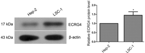 Selection of cell lines. The expression levels of ECRG4 in Hep-2 and LSC-1 human laryngeal cancer cell lines were examined by western blot analysis. Grayscale analysis was performed using β-actin as the internal control. Experimental data are expressed as the mean ± standard deviation. *P<0.05, compared with Hep-2 cells. ECRG4, human esophageal cancer-related gene 4.