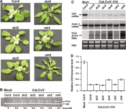 plant dcl proteins Rdr, dcl, and ago proteins are three enzyme families central to plant small-rna biogenesis and function rdrs synthesize second-strand rna using an rna template.