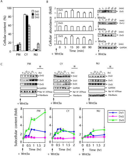 Differential effects of Wnt3a stimulation on Dvl1, Dvl2, and Dvl3. Panel A, the comparison of the cellular abundance of mammalian Dvl isoforms (Dvl1, Dvl2, and Dvl3) in subcellular fractions. F9 cells expressing Rfz1 were used to prepare subcellular fractions. Plasma membrane-enriched (PM), cytosol-enriched (CY), and nuclear-enriched (NU) fractions were prepared as described in detail in Methods and are displayed. The results of multiple densitometric scans of immunoblots were quantified. The results are displayed based upon the distribution (%), the total protein content of the whole-cell homogenate and fractions, and quantified analysis of blots from SDS-PAGE for each molecule and various controls for sample loading and blotting. The results are shown as mean values ± S.E. from 6–8 independent experiments. Panel B, the comparison of the cellular abundance of Dvls in response to Wnt3a. F9 cells expressing Rfz1 were stimulated with purified Wnt3a for indicated time and then disrupted in a lysis buffer [50 mM Tris-HCl, pH 7.5, 150 mM NaCl, 5 mM EDTA, 2 mM Na3VO4, 50 mM NaF, 1 % Triton X-100, 1 mM phenymethysulfonyfluoride (PMSF), 10 μg/ml leupeptin, and 10 μg/ml aprotinin]. Abundance of each Dvl isoform was determined by staining of blots with specific antibodies against each Dvl. Fractions were also stained with anti-GAPDH antibody to establish loading equivalence. Values are displayed as ''fold'' of zero-time point (set to 1). A representative blot is shown and the quantification of results is shown as mean values ± S.E. from 6 independent experiments. Panel C, F9 cells expressing Rfz1 receptor were stimulated without or with Wnt3a. Cells were harvested at each time point indicated, cell lysates were fractionated into plasma membrane (PM), cytoplasm (CY) and nuclei (NU) fractions. Quantified immunoblotting was performed as described in Methods. Each fraction (100 μg) was subjected to SDS-PAGE and the resolved proteins analyzed by immunoblotting with anti-Dvl1-, anti-Dvl2- and anti-Dvl3-specific antibodies. The three panels displayed at the bottom of the immunoblot set show blots stained with antibodies to well known subcellular marker proteins: Na+-K+-ATPase (plasma membrane), GAPDH (cytoplasm) and fibrillarin (nuclei), respectively. Representative blots are shown (top panel). Summary of quantified analysis of blots from SDS-PAGE are shown (bottom panel). The results are shown as mean values ± S.E. from 4–6 independent experiments. Dvl1 (blue line), Dvl2 (pink line) and Dvl3 (green line) are displayed.