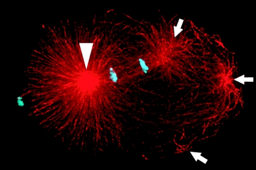 Centrosome fragments (arrows) fly outwards after a centrosome center is ablated.Hyman/AAAS