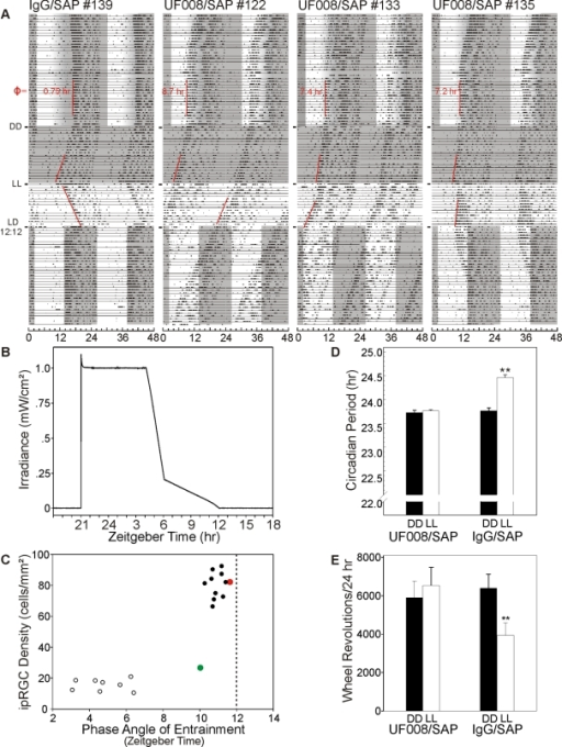Depletion of ipRGCs greatly alters entrainment, period lengthening in LL and masking by LL.Running records of a control and 3 UF008/SAP-treated mice showing phase angle of entrainment adopted in response to the gradual offset photoperiod, period during DD, during LL and re-entrainment (animals #139, 135) or failure to re-entrain (animals #122, 133) to LD12∶12 (grayed area indicates darkness). The phase angle of entrainment (Φ) during the gradual offset photoperiod is indicated for each individual (ZT12 = light completely off). B) Daily irradiance pattern recorded with a Gigahertz-Optik P-9710-2 universal optometer measured at cage level during the gradual offset light-dark paradigm. C) Relationship between remaining ipRGC density and the stable phase angle of entrainment of adopted by UF008/SAP injected mice and controls during the gradual offset photoperiod. Note the cluster of controls and the outlier animal (green-filled circle), which was injected with the saporin conjugate, but has not lost its ipRGCs. A second outlier animal (red-filled circle) had a normal phase angle of entrainment despite greatly reduced ipRGC density. D) There was no difference in period in circadian period during DD between UF008/SAP and IgG/SAP injected mice, but in LL, IgG/SAP injected mice significantly lengthened their periods (p<0.001; paired t test), becoming significantly different from UF008/SAP injected animals (p<.001, unpaired t test) which did not show any period lengthening in response to LL. E) LL induced masking was absent in UF008/SAP injected mice. Revolutions per day for the last 5 days in DD were compared to those during the initial 5 days of LL. For UF008/SAP mice, revolutions during DD and LL did not differ; for controls, revolutions/24 hr dropped by about 40% (p<.001; paired t tests).