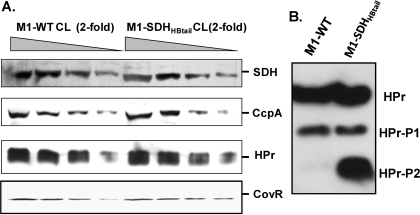 Western blot analysis of the whole-cell lysate (CL) of the overnight-grown wild-type M1-SF370 (M1-WT) and mutant (M1-SDHHBtail) GAS strains for the presence of SDH, CcpA, HPr, and CovR, using protein-specific antibodies. Equal amounts (50 µg total protein [25 ul] as the starting concentration) of cell lysates of M1-WT and M1-SDHHBtail were used for the assay. (A) Western blot analysis of equal volume (25ul) of the four serially 2-fold diluted samples of whole-cell lysates to determine the concentrations of different proteins as indicated in the wild-type and mutant GAS strains. (B) Reactivity of mono- and doubly phosphorylated forms of HPr (HPr-P1 and HPr-P2) in the whole-cell lysates of M1-WT and M1-SDHHBtail GAS strains.