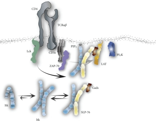 Mode of Itk activation through the T cell receptor. While residing in the cytoplasm, Itk preferentially takes on an inhibited homodimer conformation and in some instances as an inhibited independent cis-conformation.  Upon T cell engagement, Itk is able to bind SLP-76 through its SH3 domain and shuttled to the LAT signalosome.  Once there, activated ZAP-70 phosphorylates SLP-76 on tyrosine 145 which Itk then binds to with its SH2 domain to solidify the connection at the signalosome.  At which time Itk localizes to the plasma membrane by binding PI3K-generated PIP3 with its PH domain and Itk then becomes tyrosine phosphorylated by Lck on tyrosine 511.  This leads to Itk's catalytic activity that first phosphorylates itself on tyrosine 180 culminating in a fully activated enzyme.