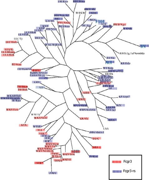 Phylogenetic tree of 134 laboratory rat strains according to the presence or absence of Fcgr3-rs in the genome. A phylogenetic tree of 94 strains is shown. Strains having numerous substrains (i.e. SHR, F344) are shown in capital letters, and all of the substrains showed the same genotype as the founder strain. The tree was developed through a heuristic search for maximum parsimony implemented in PAUP 4.0b10. TreeView was used to display the radial tree. For BD IX, LEC/Tj, and WM/Tj, genotypes could not be determined.