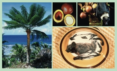 The seeds of the cycad are used as food and medicine by the indigenous Chamorro people of Guam. They are also eaten by bats and feral pigs that are consumed by the Chamorro. The resulting heavy dietary intake of BMAA has been linked with a constellation of neurodegenerative symptoms known locally as lytico-bodig.All images: Paul A. Cox