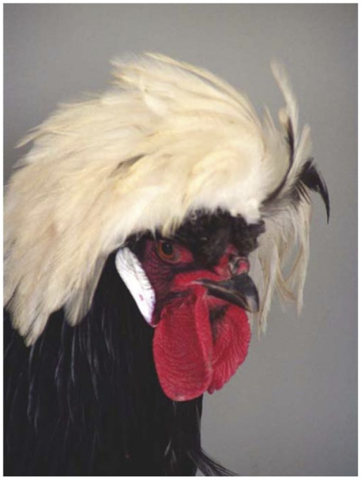 Portrait of a cock of the breed White Crested Polish.