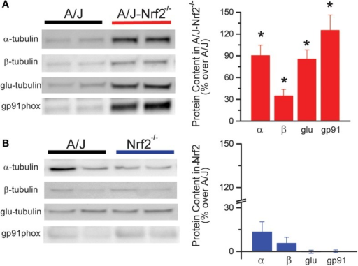 X-ROS protein expression is elevated in Nrf2 silenced dysferlin deficient muscle. Western blot analysis of gastrocnemius muscle from 1 year old mice identified that X-ROS protein content is significantly elevated in Nrf2 silenced A/J muscle (A) (n = 5) but not in Nrf2 silenced muscle (B) (n = 5). Percent changes in protein expression are demonstrated in the bar graphs to the right of both (A,B). *p < 0.05.