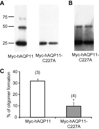 Oligomerization of the AQP11-C227A mutant. (A) Oligomerization state of Myc-hAQP11 or Myc-hAQP11-C227A was evaluated using a chemical cross-linker, paraformaldehyde. Typical examples of multimerization of Myc-hAQP11 (far left lane) and Myc-hAQP11-C227A (2nd and 3rd lanes from the left) are shown. (B) Corresponding data in 2nd and 3rd lanes from the left of A at 20-fold longer exposure time. (C) The results of densitometric analysis of cross-linked Myc-hAQP11 (white bar) and Myc-hAQP11-C227A (grey bar) are shown. The ratio of multimerized proteins (more than dimer) to total proteins (monomer + multimerized proteins) was taken as an index of the multimerization level. Values are presented as mean ± SE. The numbers of experiments are given in parentheses. ∗P < 0.05 vs. Myc-hAQP11 (Student's t-test).