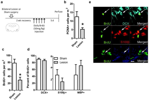 Bilateral BLA lesions suppressed hippocampal neurogenesis(a) Experimental timeline. (b) Bilaterally lesioned rats (n = 5) had significantly fewer PCNA positive cells than sham operated rats (n =6). *p<0.05. (c) Bilaterally lesioned rats also had significantly fewer BrdU positive cells than sham operated rats, representing a reduction in the number of 5-10 day old cells. *p<0.05. (d) BLA lesion did not affect the percent of BrdU positive cells expressing one of three cell fate markers: doublecortin (DCX), S100β or myelin basic protein (MBP). (e) Representative confocal images showing colocalization of BrdU with DCX, S100β or MBP. Scale bar = 10 μm.