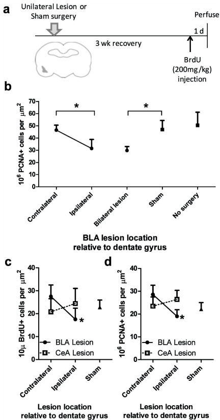 Unilateral lesions of the BLA, but not the CeA, ipsilaterally suppressed neurogenesis(a) Experimental timeline. (b) There were significantly fewer dentate PCNA positive cells ipsilateral versus contralateral to unilateral BLA lesion (n = 5). Similar suppression of PCNA positive cells was found with bilateral BLA lesion (n = 6) as ipsilateral to unilateral lesion. The number of PCNA positive cells contralateral to lesion was similar to that found in the dentate gyrus of bilateral sham-operated animals (n = 3) and no surgery rats (n = 4). *p<0.05. (c) In BLA (n = 5), but not CeA (n = 6) lesioned rats, there were significantly fewer BrdU positive dentate cells ipsilateral versus contralateral to the lesion. Sham rats, n = 6. *p<0.01. (d) In BLA (n = 5), but not CeA (n = 6) lesioned rats, there were significantly fewer PCNA positive cells ipsilateral versus contralateral to the lesion. Sham rat, n = 6. *p<0.01.