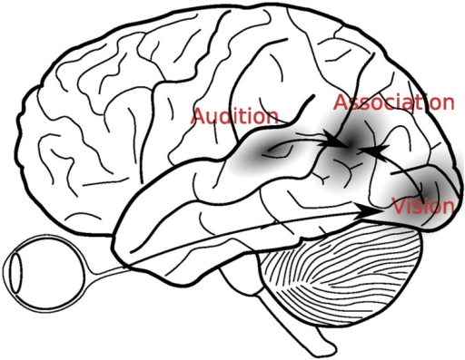 A classical view of multisensory integration. According to this view, visual and auditory signals were first analyzed in the respective sensory cortices, before they were integrated in the secondary association areas, located in the temporo-parietal areas between the auditory and visual cortices.