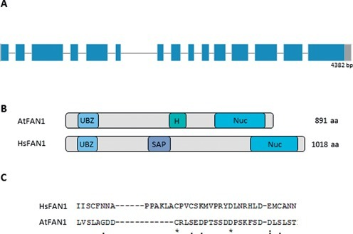 The genomic structure and the protein domains of AtFAN1. (A) AtFAN1 is composed of 15 exons and 14 introns with a total length of 4382 bp from the start to stop codons. Exons are shown as blue boxes, and introns are shown as gray lines. UTR regions are shown as gray boxes. (B) Domains present in the FAN1 proteins of humans and Arabidopsis. Both contain a VRR nuclease domain (Nuc), a potential UBZ domain and a DNA-binding domain in between [a HIRAN (H) domain in Arabidopsis and a SAP domain in humans]. (C) Alignment of HsFAN1 and AtFAN1 protein sequences reveals several conserved amino acids in the UBZ domain region. Identical amino acids are marked by ('*'), highly similar aa are marked by (':') and aa that are only weakly similar are marked by ('.').