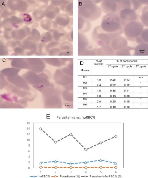 Direct infection of humanized mice by selected P. falciparum SMG01.Humanized mice were injected intravenously with the ring stage parasites of the in vivo adapted K1 P. falciparum strain SMG01. Thin blood smear was made and stained with Giemsa. Representative ring stage parasites are shown at 48 h (A), 96 h (B) and 144 h (C) after infection. Quantification of parasitemia is presented in (D). Positive (+ve) reading means that the level of parasitemia was low but detectable when at least 1 parasite could be detected in 100 microscopic fields. The parasitemia versus human RBC percentage (huRBC%) is shown in (E), where the average parasitemia/huRBC% is 10.3% ± 2.4%.