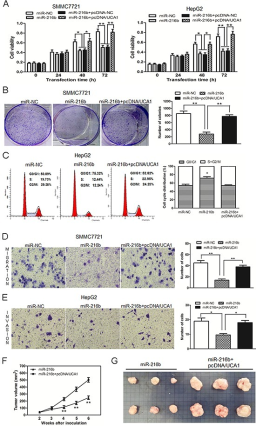 UCA1 reverses the inhibitory effect of miR-216b on cell growth and metastasis of HCC cells in vitro and in vivo(A) Cell growth viability was assayed in miR-NC, miR-216b transfected or miR-216b + pcDNA-NC or miR-216b + pcDNA/UCA1 co-transfected SMMC7721 and HepG2 cells by CCK-8. (B) Representative results of colony formation assay after SMMC7721 cells were transfected with miR-NC, miR-216b or co-transfected with miR-216b + pcDNA/UCA1 vectors. (C) Cell cycle profile was examined in miR-NC, miR-216b transfected or miR-216b and pcDNA/UCA1 co-transfected HepG2 cells by flow cytometry. Transwell assays were performed to investigate changes in SMMC7721 cell migration (D) and HepG2 cell invasiveness (E). Cells were treated with miR-NC, miR-216b or miR-216b + pcDNA/UCA1 vectors. The number of migrated and invaded cells was measured in the right panel, respectively. (F) Tumor growth curves measured after injection of SMMC7721 cells stably transfected with miR-216b or co-transfected with miR-216b and pcDNA/UCA1 vectors. The tumor volume was calculated every 7 days from 2 to 6 weeks. (G) Photographs of tumor xenografts 6 weeks after inoculation. All experiments were at least repeated in triplicate, mean ± SD, *P < 0.05, **P < 0.01.