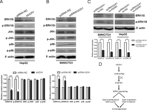 UCA1 promotes HCC malignant progression through ERK signaling pathwayRepresentative western blotting results for ERK1/2, p-ERK1/2, JNK, p-JNK, p38 and p-p38 protein expression from siRNA-NC or siUCA1 treated HepG2 cells (A) and pcDNA-NC or pcDNA/UCA1 treated SMMC7721 cells (B) (upper panel). (C) Representative western blotting results for ERK1/2 and p-ERK1/2 protein expression from pcDNA/UCA1 + si-NC or pcDNA/UCA1 + si-FGFR1 treated HepG2 and SMMC7721 cells. The relative protein expression levels were obtained from three independent experiments, β-actin was used as a control, mean ± SD, **P < 0.01, (lower panel). (D) Diagram depicting the regulation mechanism of UCA1 in the tumorigenesis of HCC.
