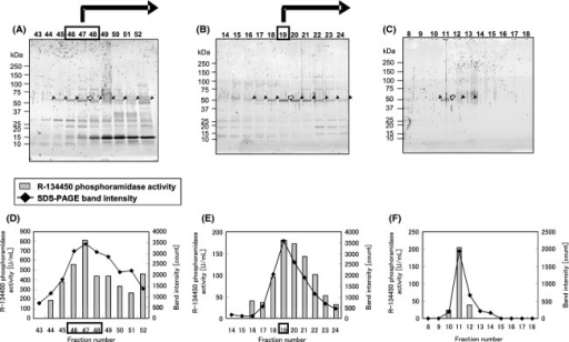 Purification and identification or R-134450 phosphoramidase activity from monkey liver. R-134450 phosphoramidase activity was purified from monkey liver by ammonium sulfate precipitation and successive five-step chromatography. Fractions of the third (A), fourth (B) and final (C) purification step were subjected to SDS-PAGE and the gel was stained by a fluorescent dye. Bands of 50 kDa correlating well with the enzyme activity are indicated by arrowheads. The bands indicated by open arrowheads were cut and analyzed by mass spectrometry. Enzyme activity of the fractions (solid line) and the intensities of the arrowed bands in the above panel (bars) are shown in the third (D), fourth (E) and final (F) purification step. Boxed fractions were subjected to the next purification step. Three independent experiments were conducted, and the average of technical duplicates from a representative single experiment is shown with error bars representing the higher value. SDS-PAGE, sodium dodecyl sulfate-polyacrylamide gel electrophoresis.