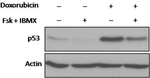 Effect of cAMP levels on total p53 protein expression upon DNA damage. NALM-6 cells were treated with forskolin and IBMX (FI). After 30 min, the pretreated cells were incubated with doxorubicin for 4 h and then protein expression was assessed using western blot analysis. Elevated cAMP decreased p53 expression induced by doxorubicin in NALM-6 cells