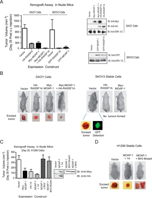 MOAP-1 can inhibit tumor formation in vivo. Xenograft assays were carried out in DAOY medulloblastoma and SKVO3 ovarian cancer cells (A and B) and in H1299 lung cancer cells (C and D). Stable cells were utilized for H1299 and SKOV3 cells, although DAOY cells contained transiently transfected expression vectors. For SKOV3, the anti-GFP antibody recognized both CFP-MOAP-1 and GFP-1A. For all, cells were harvested 48 h post-transient transfection, resuspended in Matrigel, and subcutaneously injected into male athymic mice. Immunoblots (IB) beside the graphs represent stable or transient expression of the indicated proteins. Athymic nude mice (Taconic Laboratories number NCRNU-M, CrTac:NCr-FoxN1Nu) were utilized for this assay as described previously (11). A, for DAOY cells, the p value between vector and HA-RASSF1A is 0.0003; the p value between vector and Myc-MOAP-1 or vector and Myc-MOAP-1 plus HA-RASSF1A is 0.0023 and 0.0065 respectively; n = 6–10 for all. A, right side, expressions of the indicated constructs are shown. For SKOV3, the p value between vector and HA-RASSF1A and vector and Myc-MOAP-1 was 0.009 and 0.004, respectively; n = 6 for all. C, p value between tumors formed in vector versus MOAP-1 cells was 0.0075, vector and RASSF1A was 0.0214, and vector and RASSF1A/MOAP-1 was 0.0049 (n = 8–10 for all). p value between MOAP-1 wild type and δBH3 or BH3 mutant is <0.027 and <0.0327, respectively.