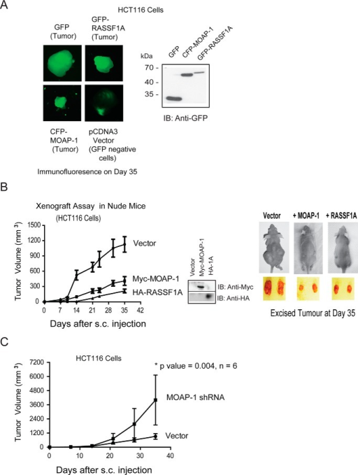 MOAP-1 can inhibit tumor formation driven by HCT116 colon cancer cells in vivo. HCT116 colon cancer cells with overexpressed proteins (A and B) or with shRNA to MOAP-1 (C) were generated by transient transfection with the indicated expression vectors. Cells were prepared and injected into nude mice as in Fig. 9. For HCT116 cells, the p value between vector and HA-RASSF1A and vector and Myc-MOAP-1 was 0.0026 and 0.0043, respectively; n = 10–16 for all. B, middle, expression of the indicated constructs are shown as well as mouse and tumor images, B, far right, representative tumors at day 35 of tumor growth. A, tumor images were captured using a multispectral FX instrument from Carestream to support the use of stable expression of GFP constructs for this assay. MOAP-1 shRNA in C results in >70% loss of MOAP-1 expression as presented.