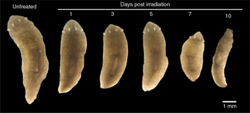 Images of planaria that were γ-irradiated using a 137Cs source (100 Gy).
