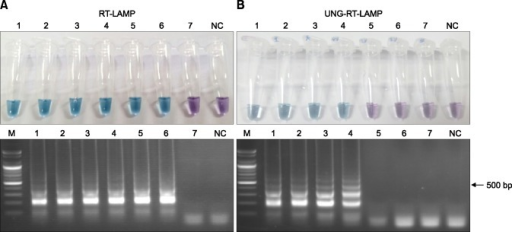 Prevention of false-positive reaction by carry-over contamination of pre-amplified deoxyuridine triphosphate (dUTP)-incorporated reverse transcription loop-mediated isothermal amplification (RT-LAMP) products. In the uracil-DNA glycosylase (UNG)-untreated RT-LAMP, amplification-positive color change from negative purple to positive sky blue and LAMP-specific ladder-like electrophoresis pattern were observed in reaction tubes 1–6, but in the UNG-treated UNG-RT-LAMP this change was only observed in reaction tube 1–4 (B). Lane NC, negative control; Lane M, 100-bp DNA marker; Lane 1–7, results of RT-LAMP or UNG-RT-LAMP contaminated with 10-fold diluted pre-amplified dUTP-incorporated RT-LAMP products (from 10 picograms to 10 attograms per reaction).