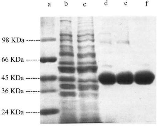 SDS-PAGE analysis of DAP ammonia lyase produced by Salmonella typhimurium PU 011. The crude enzyme was purified and run on SDS-PAGE. Molecular weight marker (Lane a), Crude Enzyme Extract (Lane b), Enzyme obtained after passing through Ammonium Sulfate precipitation (Lane c), Sephadex G-100 (Lane d), CM-Sephadex (Lane e) and CM-Sephacel (Lane f).