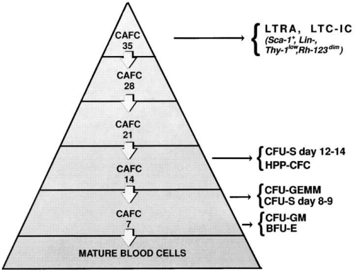 The hemopoietic stem cell hierarchy as defined by the in  vitro CAFC assay and its relationship with other stem/progenitor cell assays. Stem cells of a particular developmental stage form a cobblestone-like colony beneath a stromal cell layer after a defined period of time.  Colonies that appear early (7 d) after initiation of the culture are generated by relatively mature progenitor cells, such as CFU-spleen (CFU-S)  days 8 and 9, CFU–granulocyte/erythroid/megakaryocyte/macrophage  (CFU-GEMM), CFU–granulocyte/macrophage (CFU-GM), or burst  forming units–erythroid (BFU-E). Colonies which appear after ∼14 d in  culture are descending from CFU-S days 12–14 or high proliferative potential–colony forming cells (HPP-CFC). In contrast, colonies which  appear only after 5 wk in culture are correlated with very primitive, long-term repopulating ability (LTRA) or long-term culture initiating (LTC-IC) stem cells (18, 19). The frequency of stem cell subsets detected in  vitro decreases exponentially with culturing time, reflecting the hierarchical structure of the stem cell compartment.