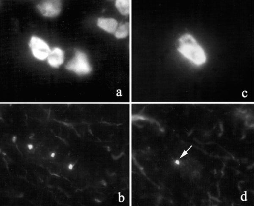 Reactivity of rabbit antibodies to pericentrim on monkey cerebellum Indirect immunofluorescence of monkey cerebellum stained with rabbit antibodies to pericentrin (b,d). Cells believed to be Bergman glial cells (a,b) and an adjacent Purkinje cell (c,d) show intense staining of centrosomes. The nuclei of the reactive cells are counterstained with DAPI (a,c). Axonal staining by anti-pericentrin is observed as strands (b,d).