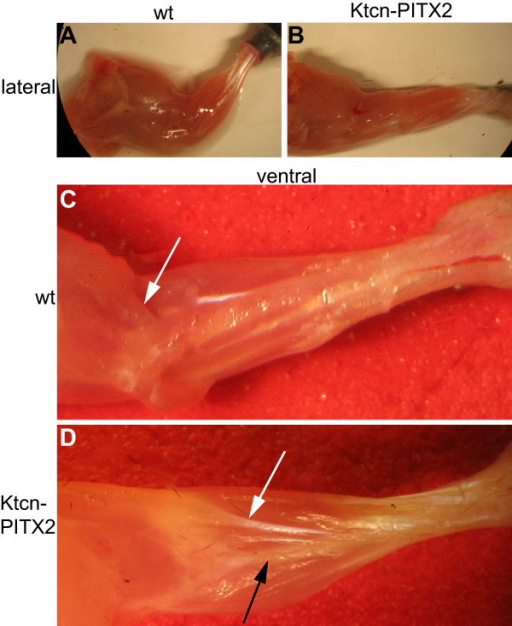 Forelimbs of adult Ktcn-PITX2 mice display tendon anomalies. (A and B) The adult Ktcn-PITX2 limb musculature is twisted 180 degrees compared to wild type. Still, all muscle groups are present. (C) Normally, biceps brachii inserts at the proximal part of the radius (white arrow). (D) In the Ktcn-PITX2 mice biceps brachii insertion is altered (white arrow) as its distal end is curled around the radius (black arrow) and inserts dorsally at the very most distal part of the bone.